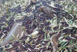 Aceitunas aves